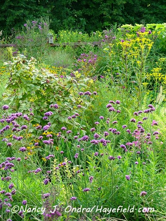 Verbena bonariensis [©Nancy J. Ondra/Hayefield.com]