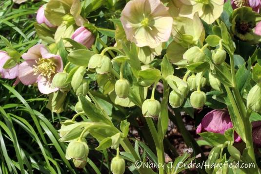 Helleborus foetidus and H. x hybridus [©Nancy J. Ondra/Hayefield.com]