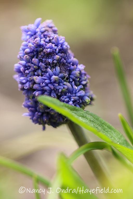 Muscari armeniacum 'Blue Spike' [©Nancy J. Ondra/Hayefield.com]