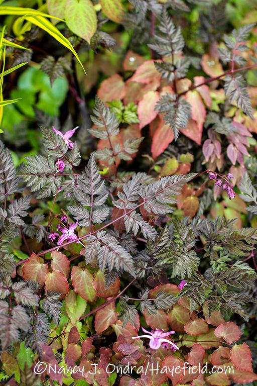Anthriscus sulvestris 'Ravenswing' and Epimedium grandiflorum 'Lilafee' [©Nancy J. Ondra/Hayefield.com]