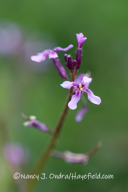 Chorispora tenella [©Nancy J. Ondra/Hayefield.com]