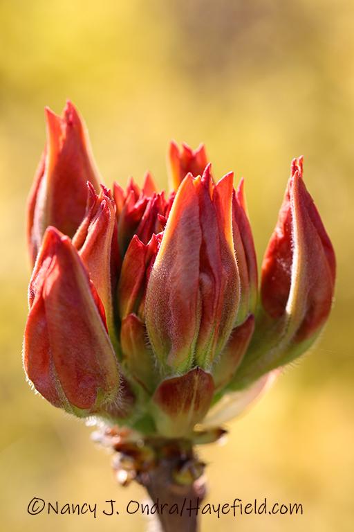 Rhododendron 'Arneson Gem' [©Nancy J. Ondra/Hayefield.com]