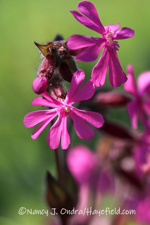 Silene dioica [©Nancy J. Ondra/Hayefield.com]
